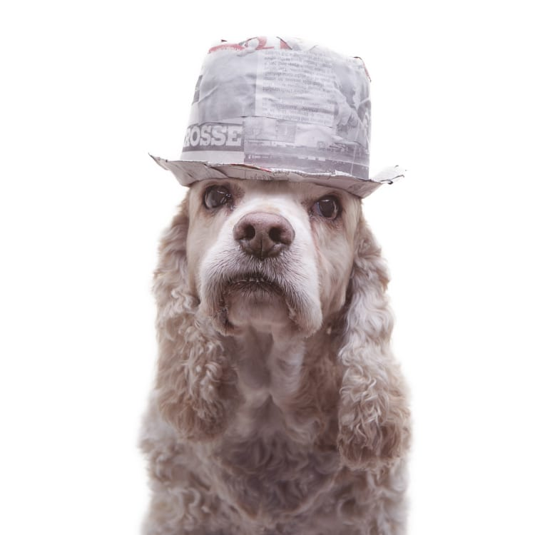 Cocker Spaniel wearing a trilby that looks remarkably like Kid Rock.