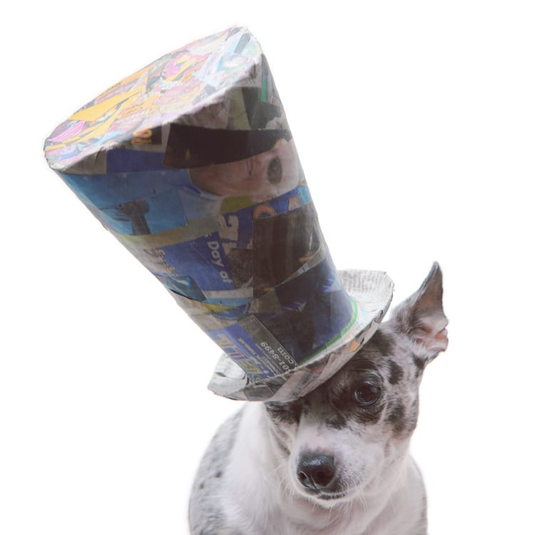 Adorably stag headed teacup chihuahua rocking a giant blue top hat.