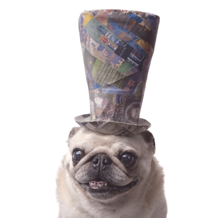 A wild eyed senior pug wearing a crazy colored top hat made from news print and paper mache.
