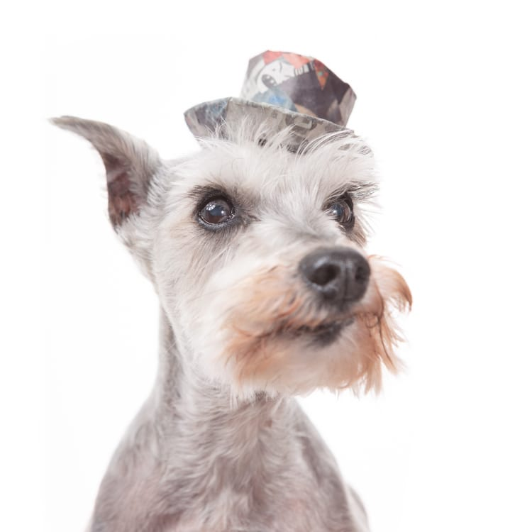 Photo of a cute little senior miniature schnauzer terrier wearing a colorful hat. Her mustache is quite adorable.