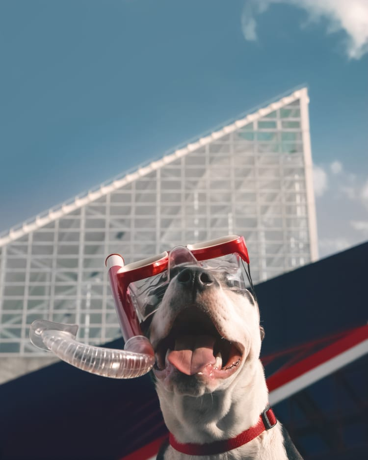 A smiling American Staffordshire Terrier wearing a red snorkel and mask in front of the National Aquarium in the Baltimore Inner Harbor.