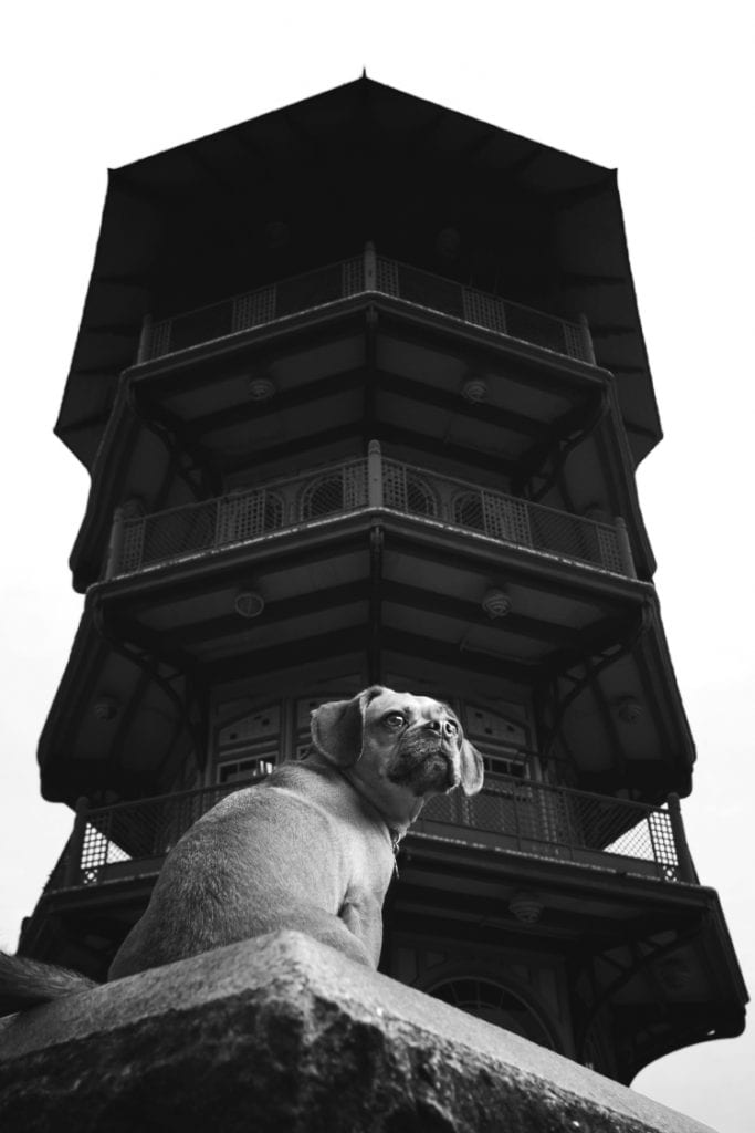 A black and white photo of a cute pug beagle mix (Puggle dog) in front of the pagoda in Patterson Park in Butcher's Hill Baltimore.