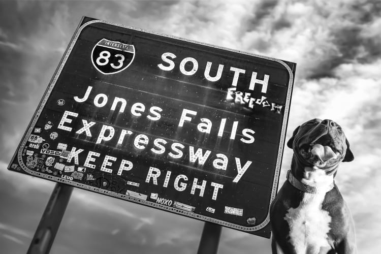 Photo of a smiling pit bull dog next to the highway sign for the Jones Falls Expressway in Hampden located on Falls Road near the Hampden Skate Park and the dog friendly Puptrait Studio.