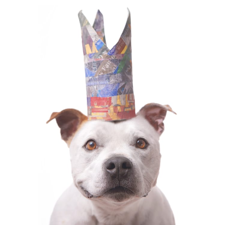A smiling pit bull with cute brown ears wearing a very tall blue and red crown.