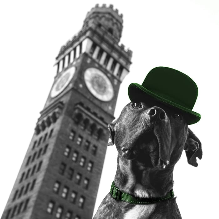 A photo of a St. Patrick's Day dog costume. Bully puppy photo of a cute American Pit Bull dog celebrating St. Paddy's Day wearing a green derby / bowler cap and green dog collar in celebration of Ireland.