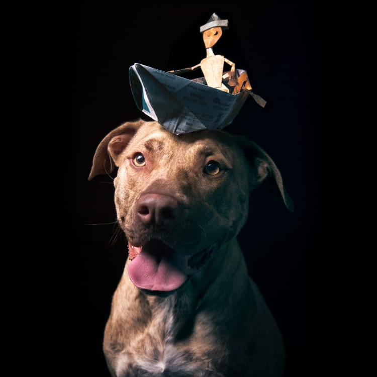 Cute dog photo featuring an adorable brindle staffy rescue mix wearing a hat shaped like a man in a row boat.