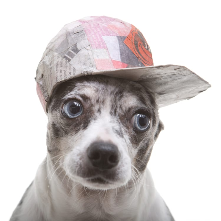 A blue eyed grey and blue brindled apple headed Chihuahua wearing a tiny Baltimore Orioles baseball cap.