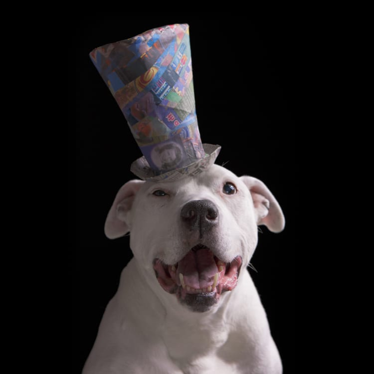 Fun loving white furred pitbull wearing a tall blue top hat. Judy Garland's portrait is featured along the brim of the hat.
