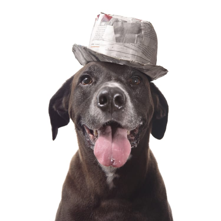An adorable rescue dog mix wearing a fedora. He looks like an old man you might expect to find at a race track gambling on horses, like at the Preakness Stakes help annually at the Pimlico Race Track in Baltimore as part of the Triple Crown.