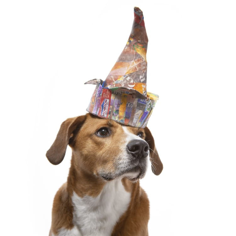 "Photo of a Boggle dog (Boxer Beagle mix) wearing a colorful dunce cap modeled after Pablo Picasso's ""the Fool"""