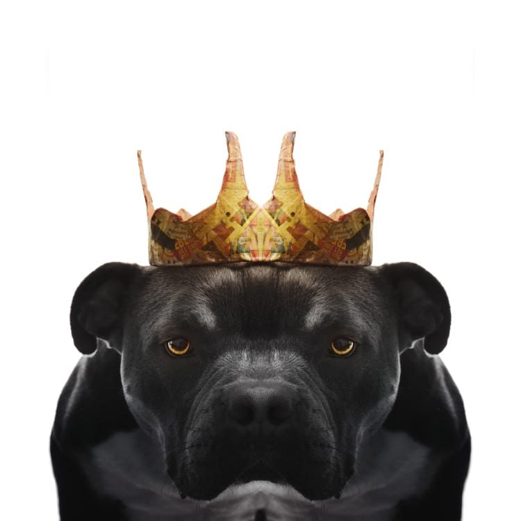 An angry but cute looking black bull dog pit bull mix puppy wearing a golden crown. His eyes are yellow and glowing.