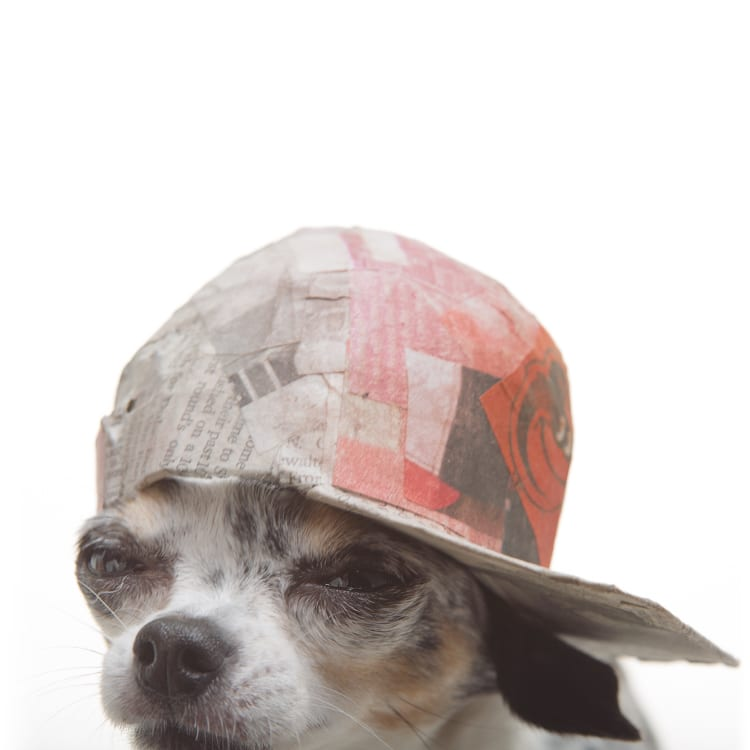 OG dog photo. Picture of Chihuahua rocking a flat back Baltimore Orioles baseball cap.