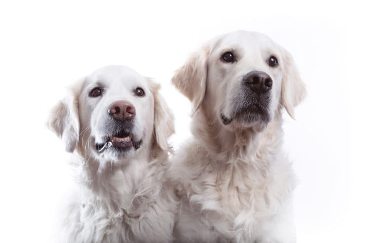 A cute portrait of two happy looking Golden Retrievers photographed against a white background at a dog friendly photo studio
