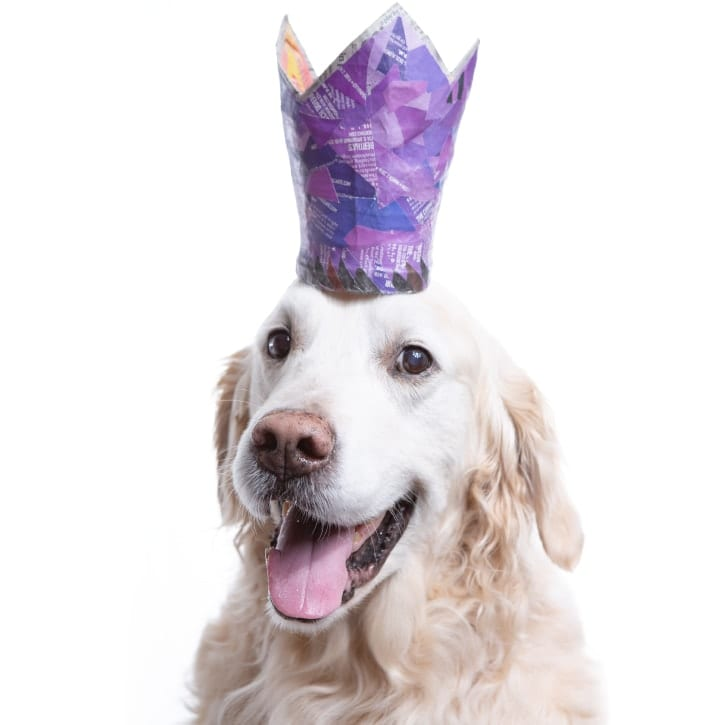 Dog photography of English Golden wearing purple crown in celebration of Easter