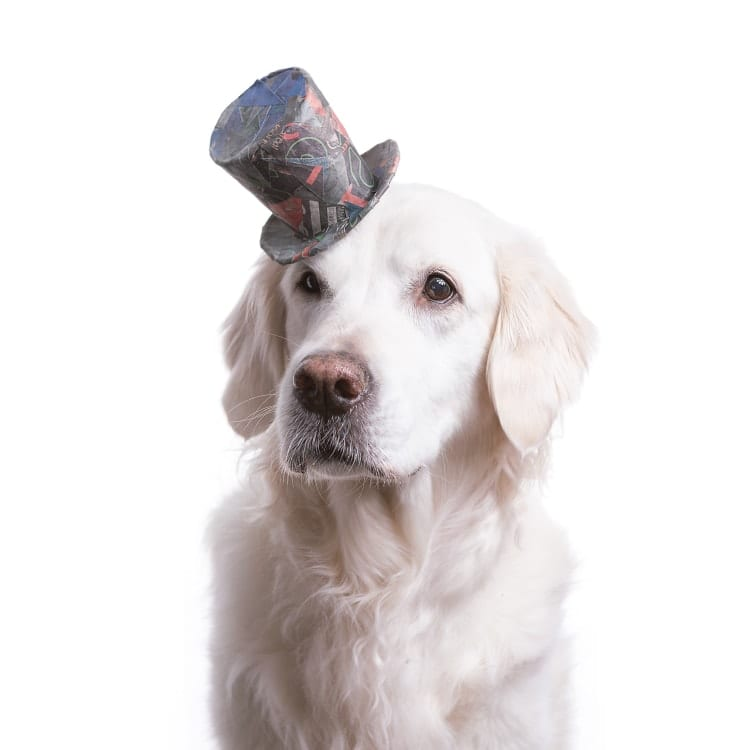 dog photography golden wearing a short paper top hat