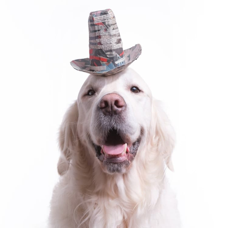 dog photography golden wearing a fun handmade stetson hat