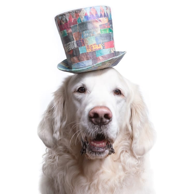 dog photography golden wearing a large top hat