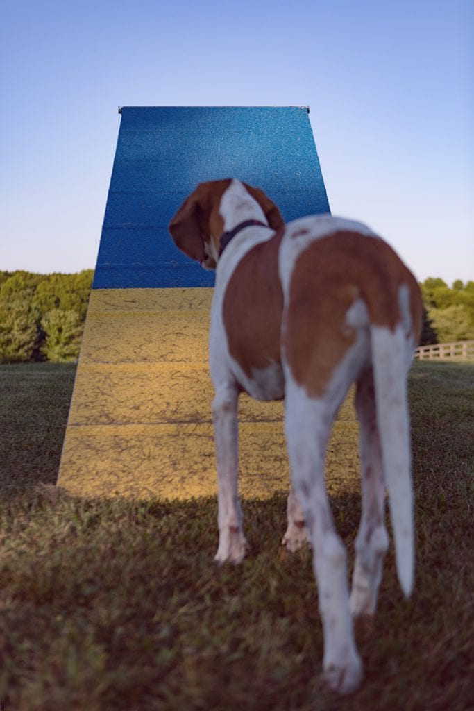 Photo of a fox hound looking at agility training A-frame obstacle.