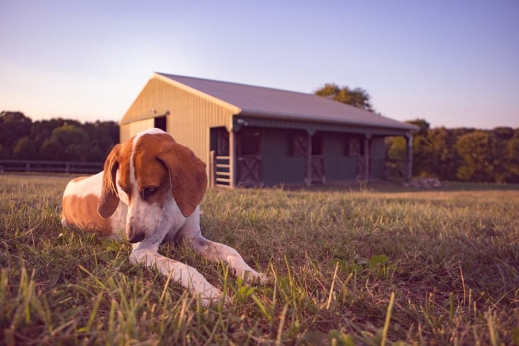 Photo of a fox hound laying in green grass in front of clean barn on a Maryland horse farm