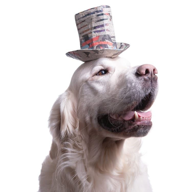 cute dog picture of an English Godlen Retriever wearing a striped multi colored stetson hat made out of papier mache.