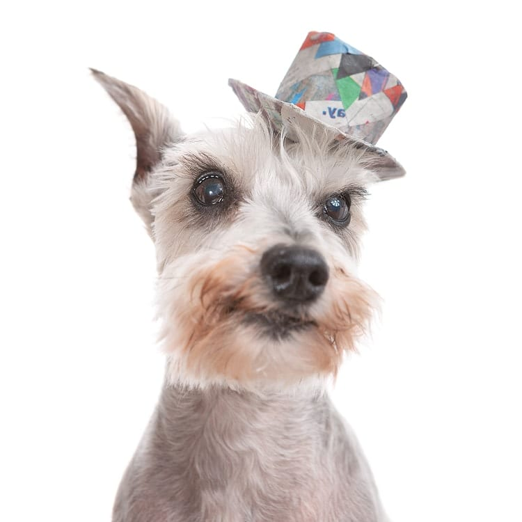 Photo of an adorable Miniature Schnauzer senior puppy wearing a little wide brimmed hat made out of colorful scraps of news print and recycled paper materials.