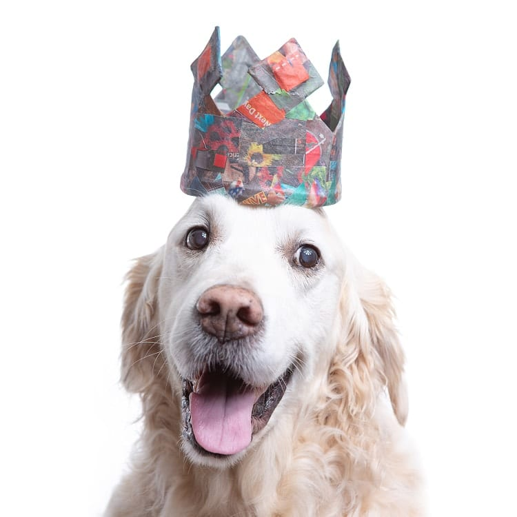 dog photography golden wearing a crown made from colorful scraps of paper