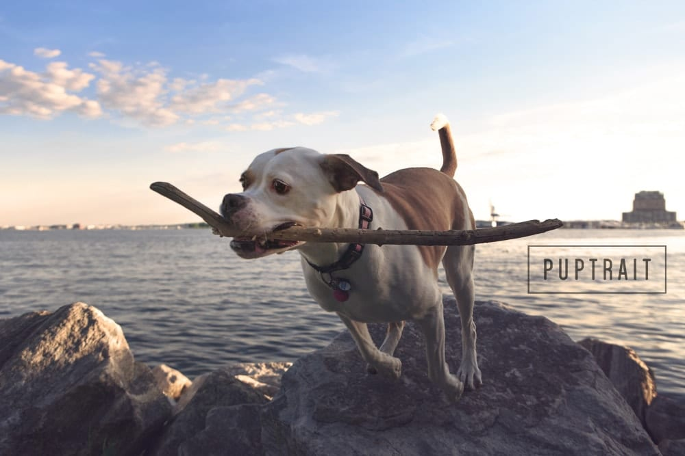 A watermarked photo of a dog carrying a stick along the Baltimore Inner Harbor.