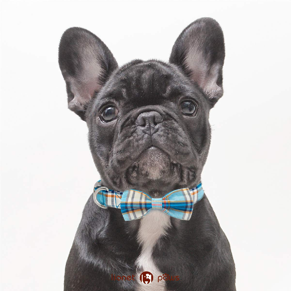 Photo of a black Boston Terrier wearing a checkered bowtie