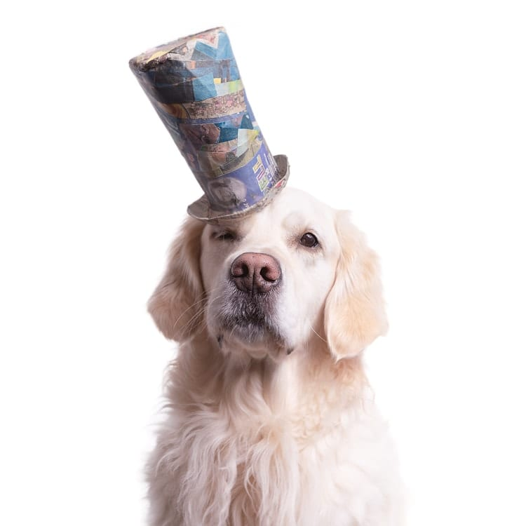 Adorable photo of a senior Golden retriever wearing a blue top hat at a jaunty angle.