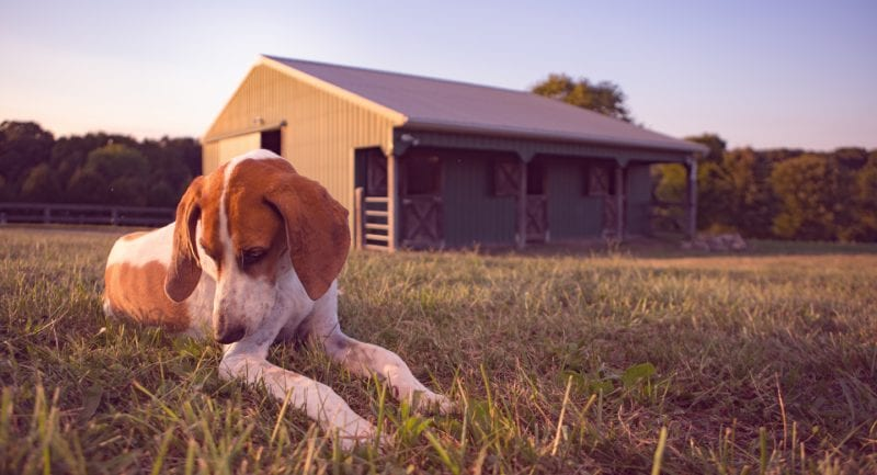 Stock photography of dogs on Maryland farm outside of Baltimore with a sad looking foxhound