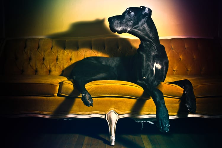 A beautiful black Great Dane sitting on a mid century gold velvet couch.