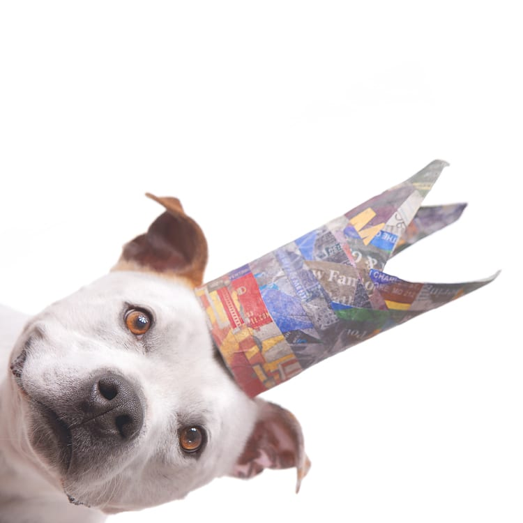 dog photography paper crown angle