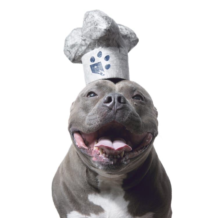 Photo of a smiling blue pit bull rescue dog wearing a white chef's hat