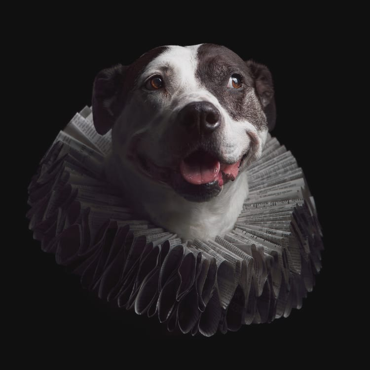 A piebald Staffordshire pit bull terrier wearing an Elizabethan / Baroque style ruff collar made out of newspaper.