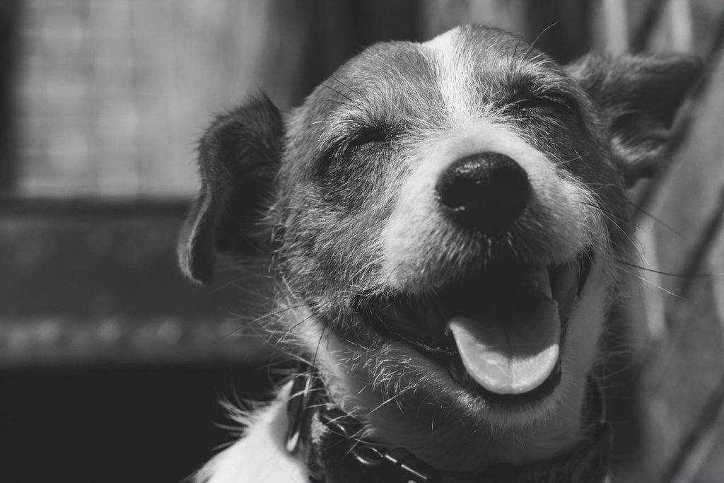 Photograph of a cute smiling Jack Russell Terrier shot on a Canon Rebel t3i and 85mm