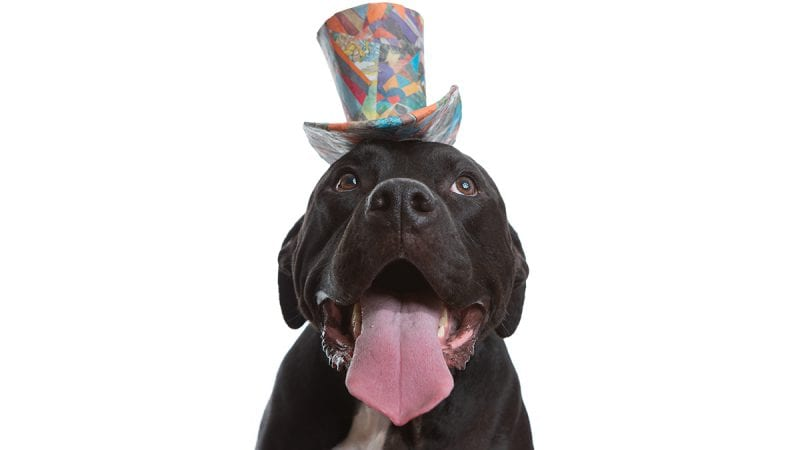 Studio portrait of a cute black pit bull wearing a colorful top hat with their long pink tongue sticking out