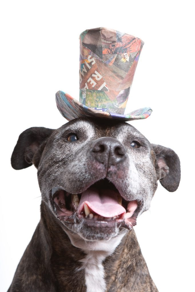 Creative portrait of a senior brindle American Pit Bull Terrier wearing a colorful top hat made from upcycled scraps of paper.