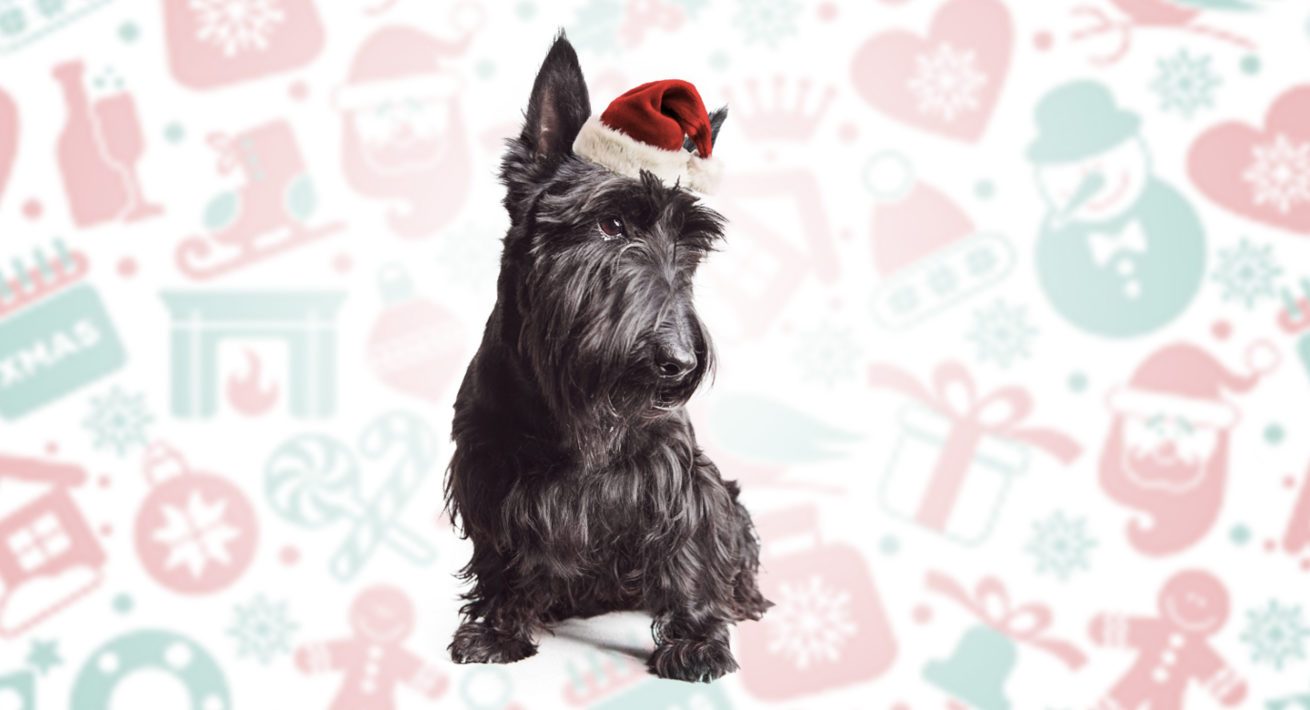 A black Scottish Highland Terrier wearing a cute red felt Santa cap in front of a festive background.
