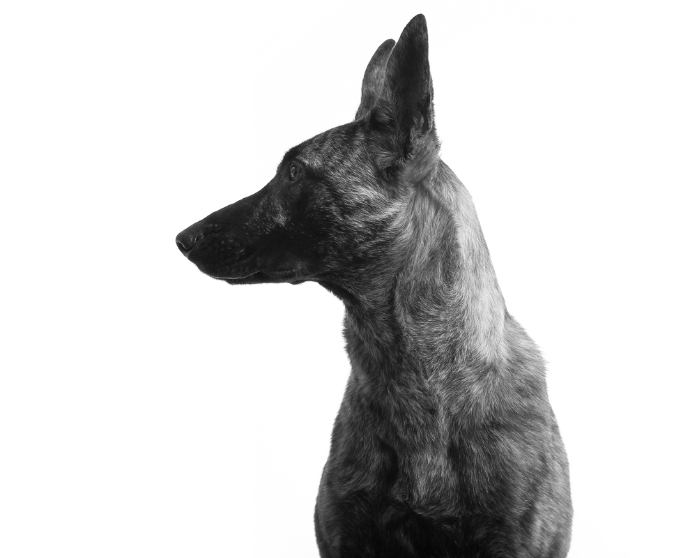 Black and white profile photo pet portrait of a regal Belgian Malinois dog captured against a white seamless background at the Puptrait Studio in Baltimore, Maryland.