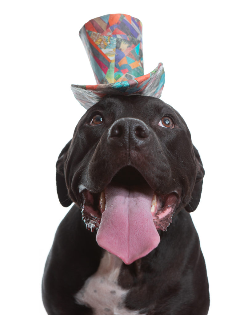 Photo of a Black Labrador Retriever mix wearing a colorful orange and blue top hat. This custom pet portrait was photographed at the Puptrait Studio in Baltimore, Maryland.