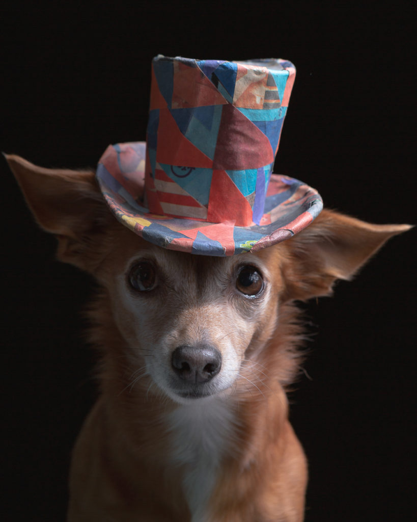 Adorable pet portrait photo of a fox like small breed house mix wearing a colorful paper hat.