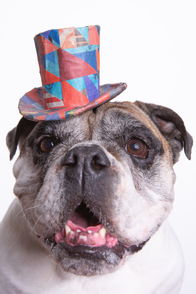 Custom pet portrait of a smiley English Bulldog wearing a colorful top hat made from red and blue triangle shaped scraps of recycled newspaper organized in a geometric pattern.