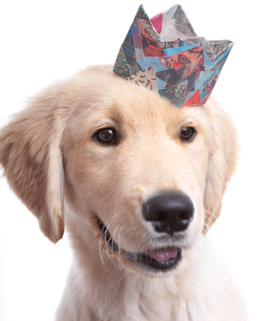 Pet portrait photo of a Golden Retriever Puppy wearing a tiny paper crown made from colorful scraps of blue and red newsprint.