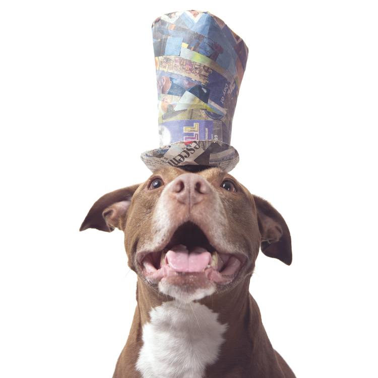 Paper Hats pet portrait of a fawn pitbull staffy wearing a blue tophat made from newspaper