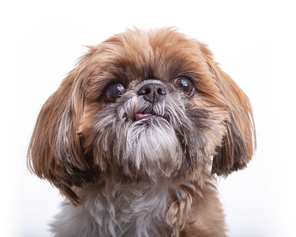 Closeup Shih Tzu pet portrait photographed against a white background at the Puptrait Studio in Baltimore, Maryland.