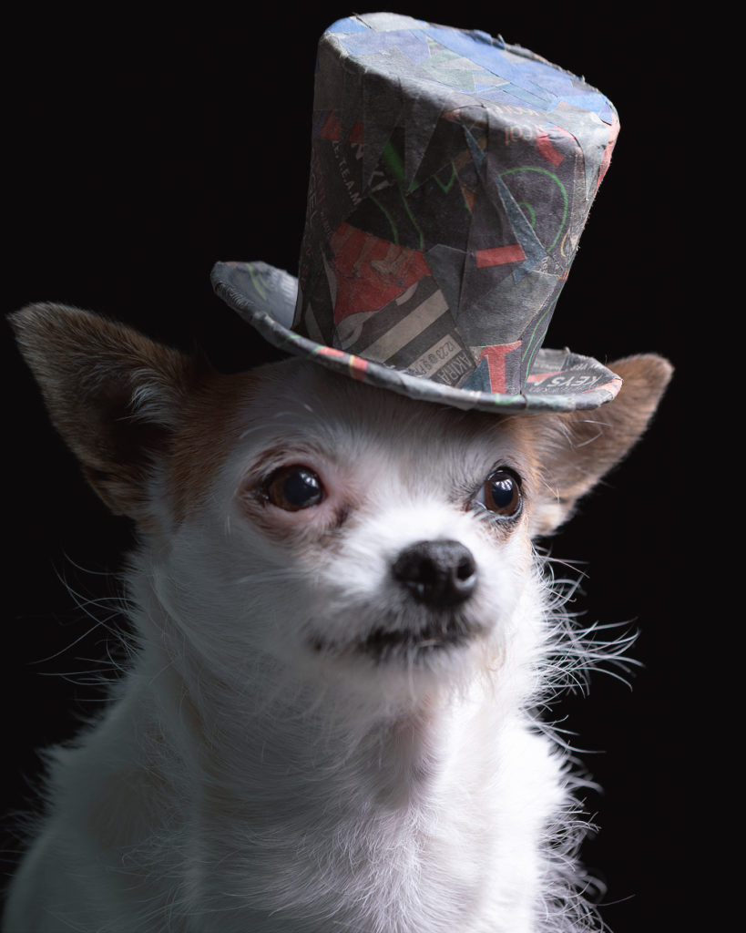Photo portrait of a white house mix small breed pup with a broken coat wearing a fun little top hat.