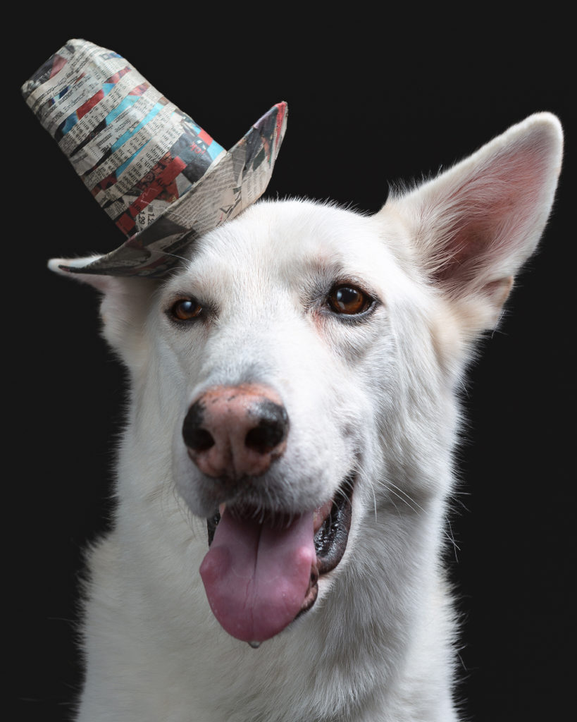 Pet portrait taken at Washington D.C.'s premier dog friendly photography studio, the Puptrait Studio. Featuring a white German Shepherd wearing a striped Stetson Hat made from upcycled newspaper.