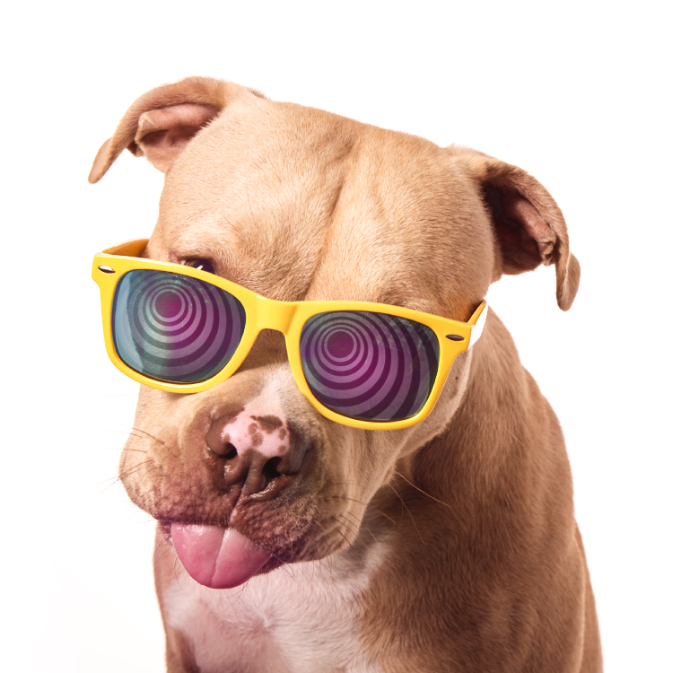 Portrait of a smiling pit bull puppy wearing sunglasses, photographed at the Puptrait Studio, Maryland and Washington D.C.'s favorite dog friendly photo studio.