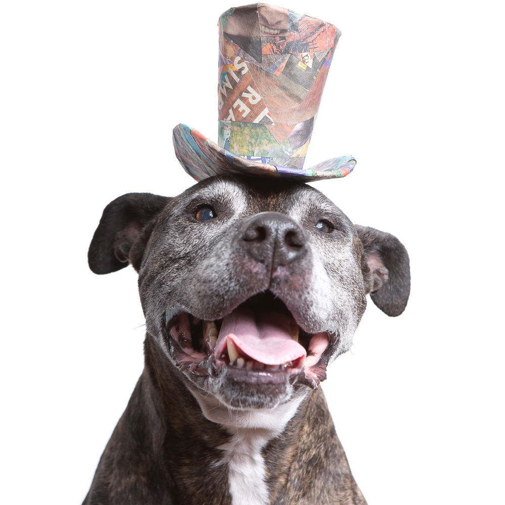 Studio pet portrait of a senior dog wearing a colorful tophat